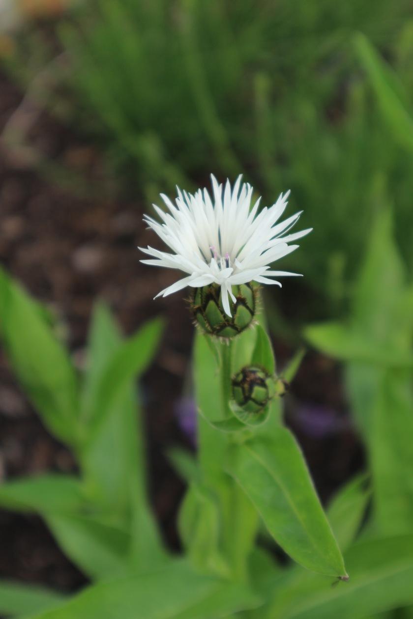 Perennial Cornflower Centraurea Mcconnell Blooms